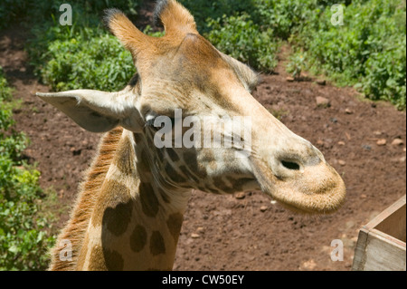 Cerca de la cabeza de la jirafa Rothschild Fondo Africano de fauna silvestre en peligro de extinción Giraffe Center cerca de Parque Nacional Nairobi Nairobi Kenya