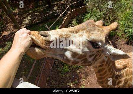 Cerrar girafas Rothschild el Fondo Africano para la fauna silvestre en peligro de extinción Giraffe Center cerca de Parque Nacional Nairobi Nairobi Kenya