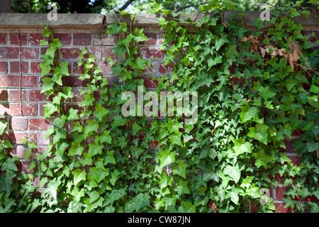 Hiedra inglesa o la hiedra común (Hedera helix) crece sobre una pared de ladrillos Foto de stock