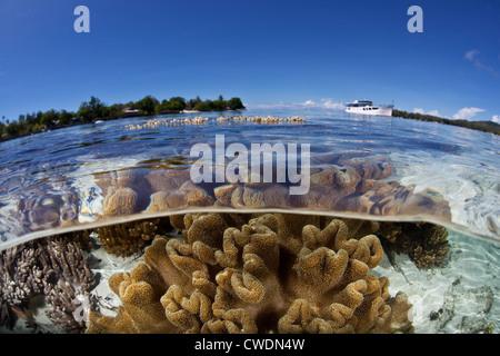 Un barco liveaboard ha anclado cerca de un arrecife de coral poco profundas donde los corales cuero suave, Sarcophyton sp., Crecer.