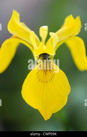 Bumble Bee recoge el néctar de bandera amarilla, Iris Iris pseudacorus, en los Cotswolds, Oxfordshire, REINO UNIDO