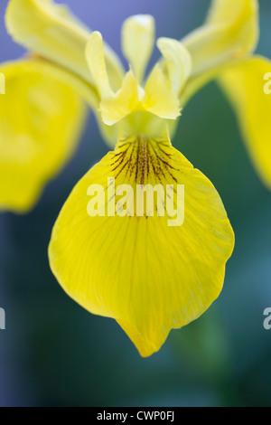 Bandera amarilla, Iris Iris pseudacorus, en los Cotswolds, Oxfordshire, REINO UNIDO