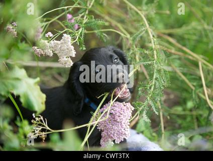 10 semanas de edad Cachorro Cocker Spaniel de trabajo. Ayudar con la jardinería.
