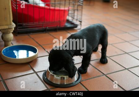 8 semana de edad trabajo alimentación de cachorro Cocker Spaniel