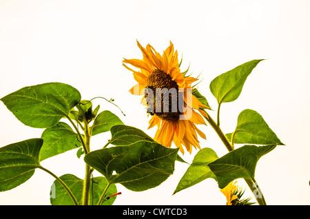Girasol, Sun, Flor, girasol, la naturaleza, la abeja, verde, jardín, semillas, granja, brillante, blanco, amarillo, Foto de stock