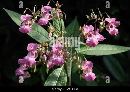 Bálsamo del Himalaya (Impatiens gladulifera) flores, vainas y hojas contra un fondo de sombra