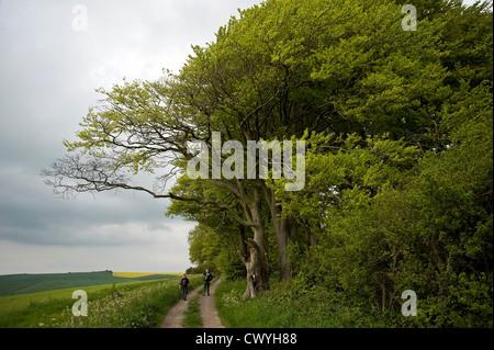 Antiguos hayedos en el Ridgeway ruta de larga distancia cerca de Liddington Hill, Wiltshire, UK