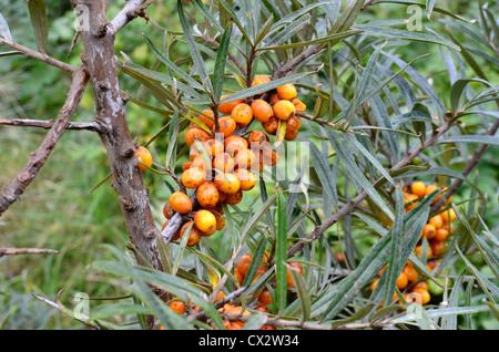 El amarillo-naranja comestible frutos de Mar Buckthorn [Hippophae rhamnoides].
