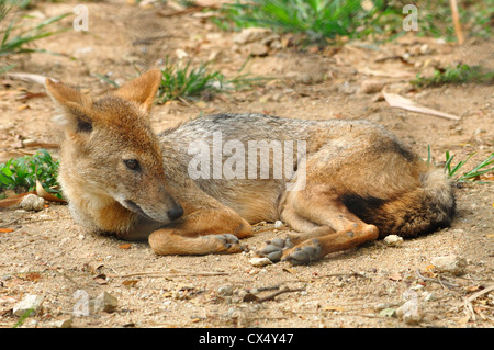 Indian chacal ( Canis aureus indicus )