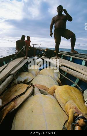 Los pescadores indios miskitos vela sus Duritara cargado con las tortugas verdes (Chelonia mydas). Puerto Cabezas, Nicaragua, El Caribe
