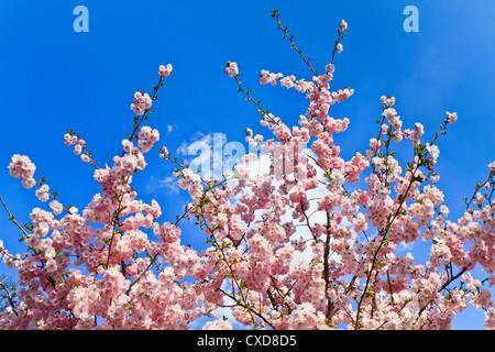 Primavera de los cerezos en flor (rosa) y fondo azul.