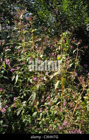 Bálsamo del Himalaya (Impatiens gladulifera) explosivas las vainas y flores de esta maleza invasora