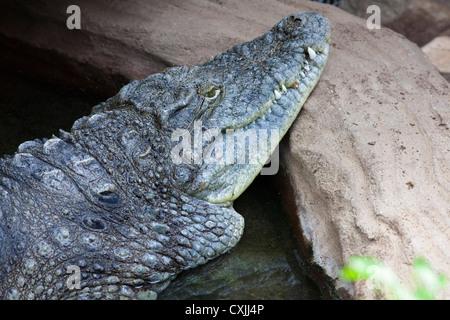 El cocodrilo del Nilo (Crocodylus niloticus) descansando en shoreline