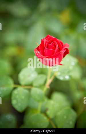 Close-up de Rose con gotas de agua, Jardín Botánico de Toronto, Toronto, Ontario, Canadá
