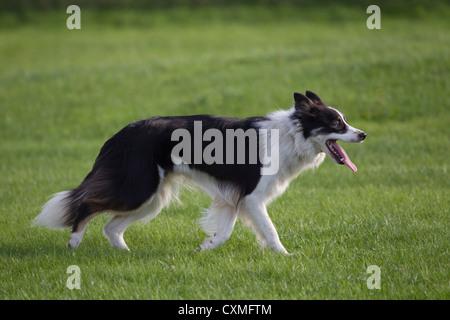 Border Collie ovejero perfil en blanco y negro con la lengua fuera