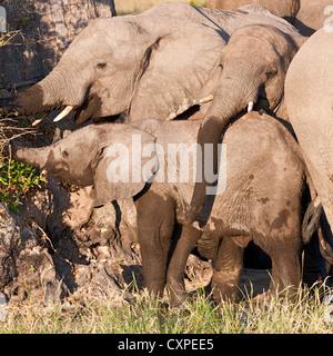 Close-up de muy apretado y una manada de elefantes (loxodonta africana), alimentándose de un arbusto, Moremi, Botswana