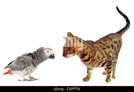 Gris Africano asustando Parrotand Bengala gato delante de un fondo blanco