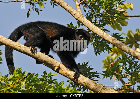 Mono aullador (Alouatta seniculus), cerca del Lago Arenal, provincia de Alajuela, Costa Rica, Centroamérica