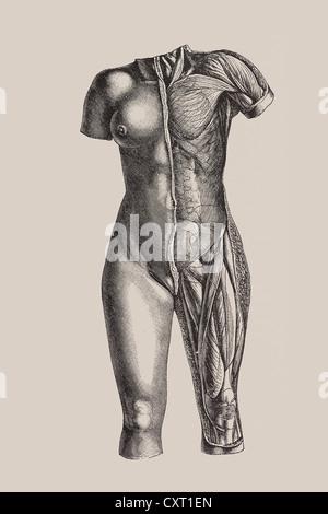 Ilustración del torso de una figura femenina humana mostrando las ...