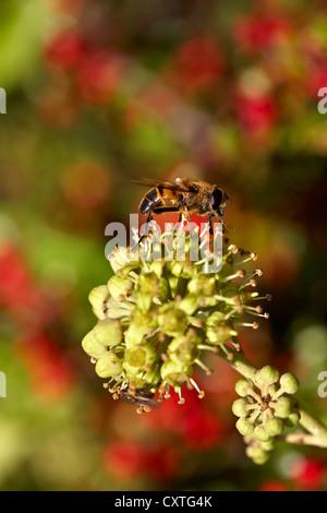 Trabajador miel de abejas Apis mellifera forrajeando para el polen y el néctar de la flor de la Hiedra Hedera helix.
