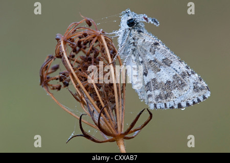 Dewy común Checked-Skipper Butterfly (Pyrgus communis) Wild Carrot Daucus carota E USA, by Skip Moody/Dembinsky Photo Assoc