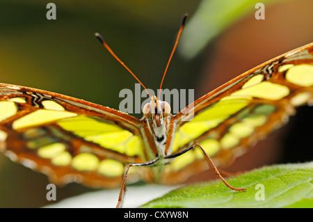 Malaquita Siproeta stelenes (mariposas), nativa de América del Sur, cautiva, Países Bajos, Europa