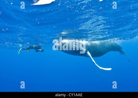 La ballena jorobada y Snorkelers, Megaptera novaeangliae, Banco de Plata, Océano Atlántico, República Dominicana