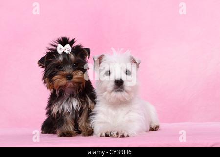 West Highland White Terrier y Yorkshire Terrier cachorro Foto de stock