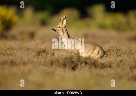 Western Corzo (Capreolus capreolus) macho de pie entre los brezos, Holanda, Mayo