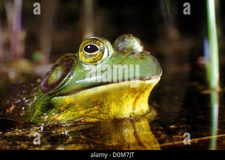 Con ojos saltones, una rana toro surge de las profundidades de su hervidora estanque hábitat en Cape Cod, Massachusetts.