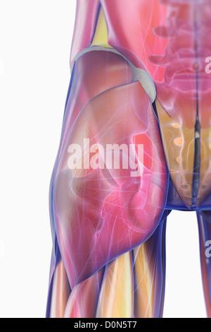 Vista trasera de la zona de la cadera con músculos transparentes ...