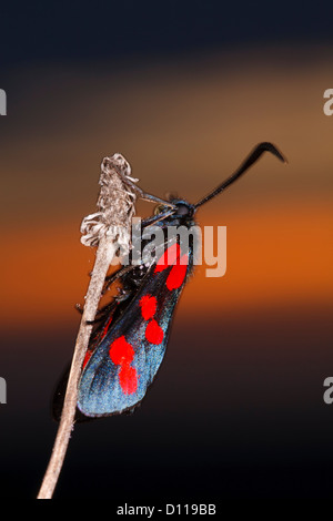 6-spot Burnett (Zygaena filipendulae) polilla posados en el crepúsculo. En el Causse de Gramat, región de Lot, Francia. Junio