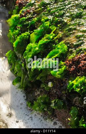 La lechuga de mar Ulva lactuca, alga verde, Chlorophyta, Anzio, Roma, Italia, el Mar Mediterráneo