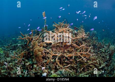 Una sana postura de staghorn coral frente a las costas de las Islas Swan, Honduras.