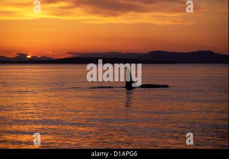 Killer whale; Orca.Orcinus orca.macho (aleta dorsal alta). Puesta de sol en las Islas San Juan, Estado de Washington, EE.UU..