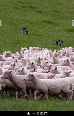 Los perros del cabezal se reúnen en rebaño de ovejas romney y conducir a casa. Masterton, Wairarapa región, Isla del Norte, Nueva Zelanda.