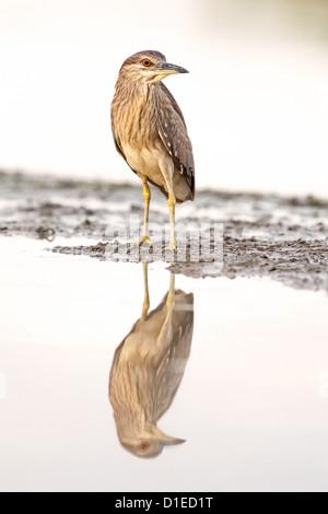 Negro juvenil coronó la noche heron (Nycticorax nycticorax) de pie en una orilla del lago