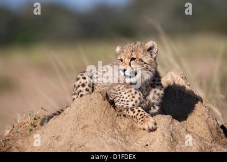 Guepardo (Acinonyx jubatus) cub, Phinda Private Game Reserve, Kwazulu Natal, Sudáfrica, África Foto de stock