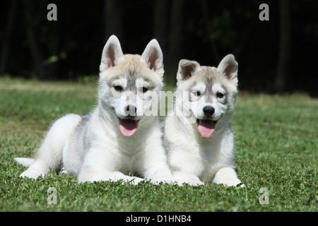 Dos cachorros de Perro Husky siberiano blanco y marrón sobre el césped