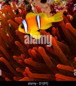 Mar Rojo pez payaso (Anemonefish) junto con un vívido anémona roja sobre un arrecife de coral Foto de stock