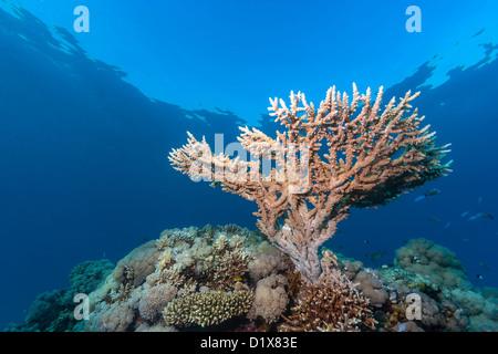 Una pequeña coral de cuerno de ciervo crece cerca de la superficie de un arrecife de coral