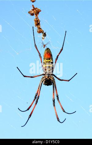 Madagascar Arañas Orb de Oro (Nephila madagascariensis) a punto de mate