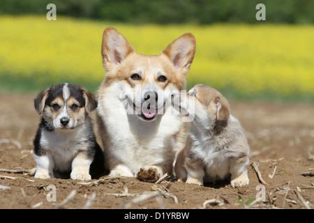 Welsh Corgi Pembroke perro adulto y dos cachorros de diferentes colores sentado