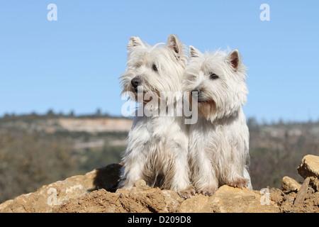 Perro West Highland White Terrier / Westie dos adultos sentados en el suelo Foto de stock
