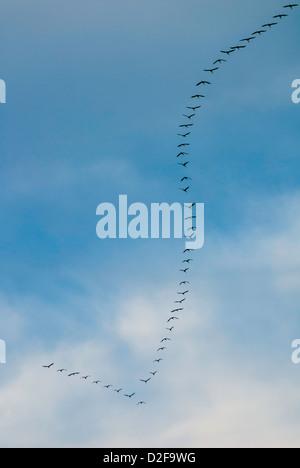 Bandada de aves volando en el cielo - Flying común grulla (Grus grus) en la típica forma de V