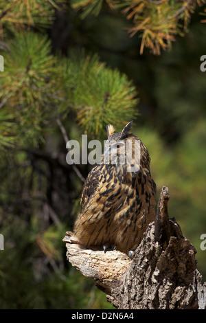 El águila búho euroasiático (Bubo bubo), Bearizona Wildlife Park, Williams, Arizona, Estados Unidos de América, América del Norte Foto de stock