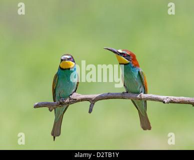 Un par de comedores de abeja europea (Merops apiaster) posado sobre una rama, de foco suave follaje verde antecedentes