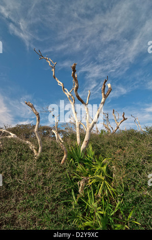 Arena o Live Oak Quercus geminata y saw palmetto o Serenoa repens crecen en el atlántico costero de dunas de arena Foto de stock
