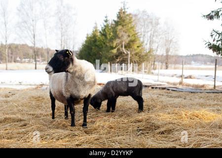 Suffolk ovejas y su cordero