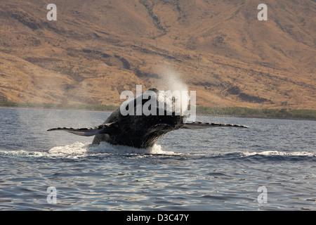 Infringir la ballena jorobada, Megaptera novaeangliae, Hawai.